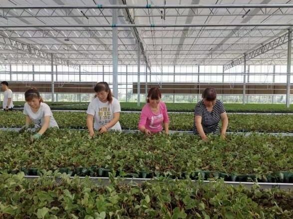 穴盘草莓苗  市场受青睐