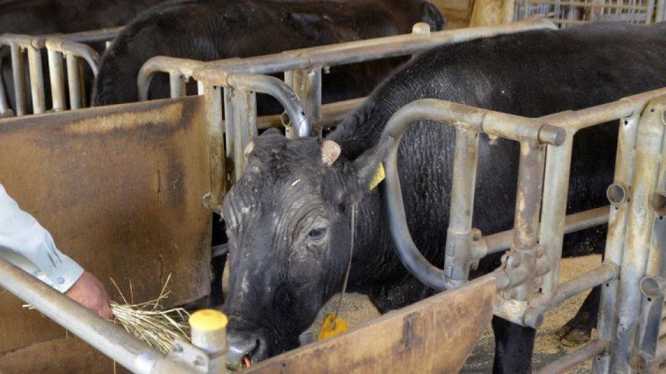 世界第一頭體細胞克隆牛去世