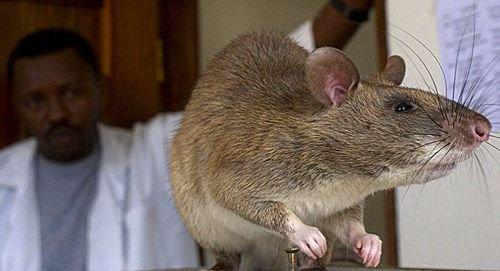 巨鼠入侵美国佛罗里达州 体重达4公斤