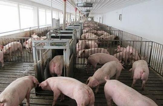 云南楚雄市排查出非洲豬瘟疫情 發病3頭死亡3頭
