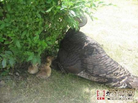 孔雀下蛋拒绝孵化 火鸡妈妈代孵出孔雀宝宝(图)