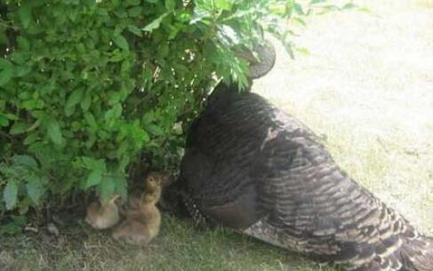 火鸡妈妈代孔雀孵孔雀宝宝