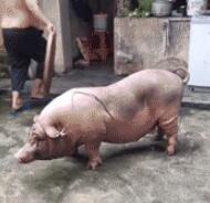 被电死的猪肉不能吃,肉质太硬