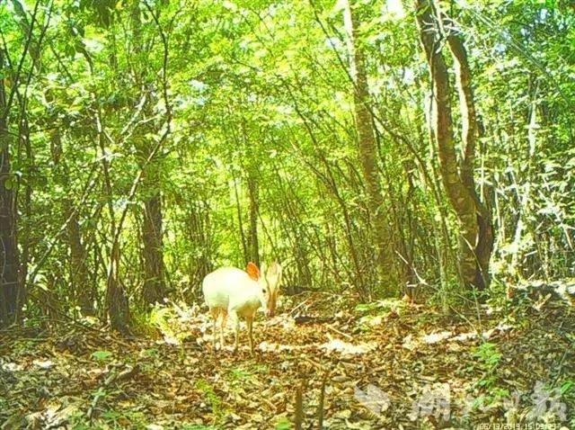 活久见!湖北一地拍到罕见白化小鹿