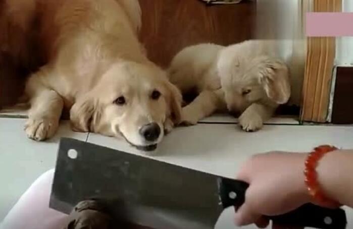 主人切蛋糕,金毛妈妈拉着孩子就跑,还把门关上了