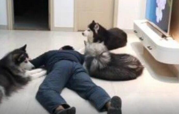 主人假装倒下看狗狗们的反应,结果凉凉了...