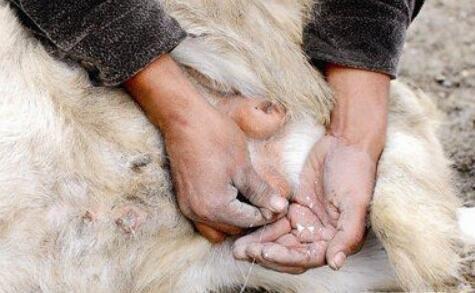 印度四岁公山羊离奇变化 每日产奶0.5斤