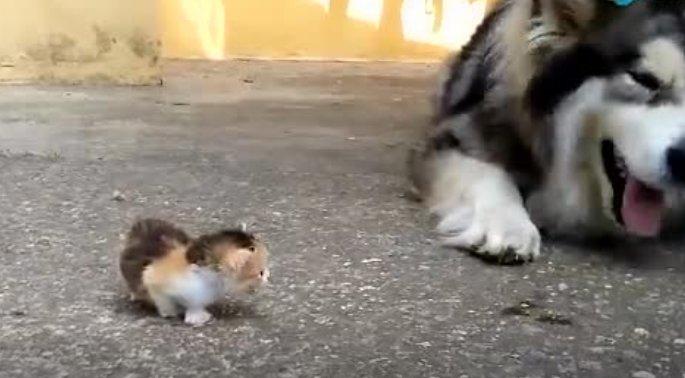 主人捡回一只流浪猫,阿拉斯加百般呵护!