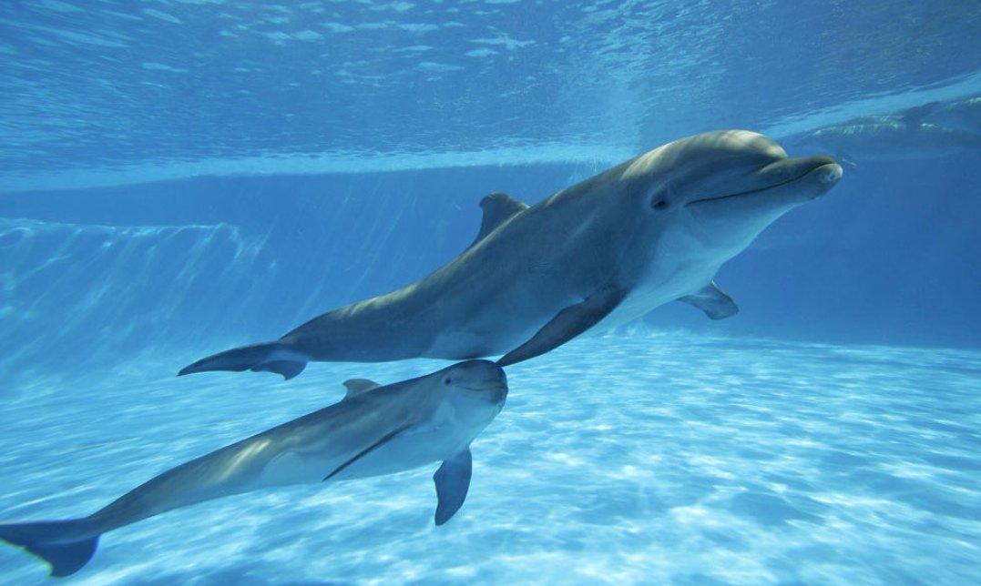 不止人类有左右撇子 海豚也分左右撇子