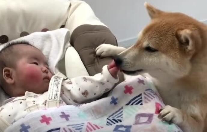 实拍柴犬带宝宝,柴犬:不哭不哭,我陪你玩