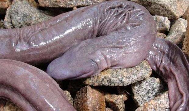 世界上长相最奇特的蛇,巴西盲蛇