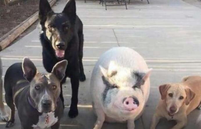 猪和5只狗一起生活,果然,猪成功被狗子带跑偏了!