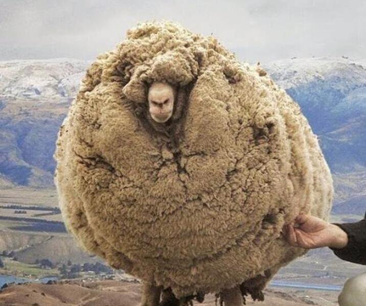不想剃毛离家出走的网红绵羊,Shrek去世