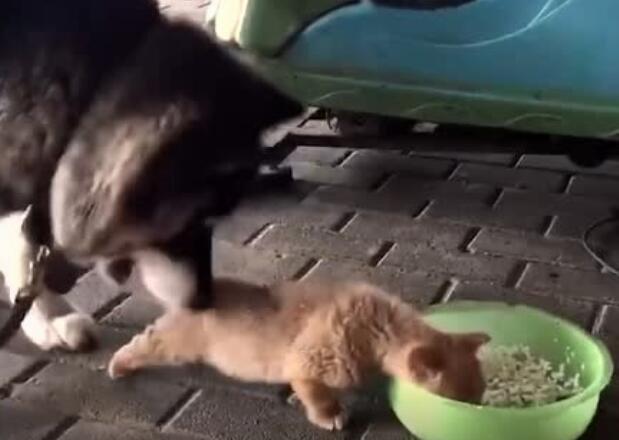 求吃欲很强的小奶狗,大狗狗表示很无奈