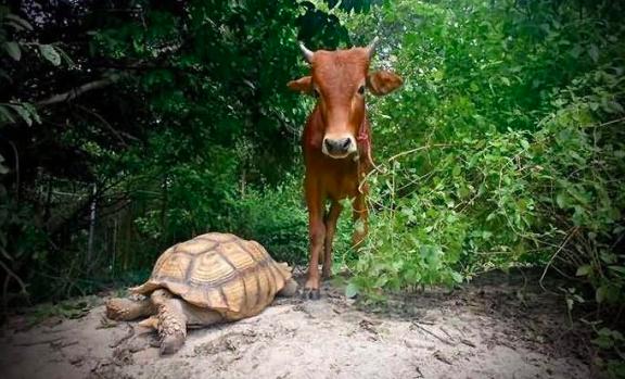 跨界的友情!一头牛居然和乌龟成了好朋友