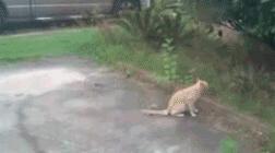 招惹上惹不起的猫了