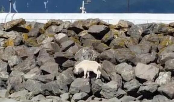 一头山羊被民众追赶拍照跳海身亡