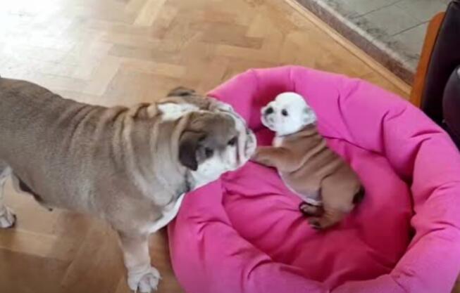 狗妈妈和儿子的日常打闹