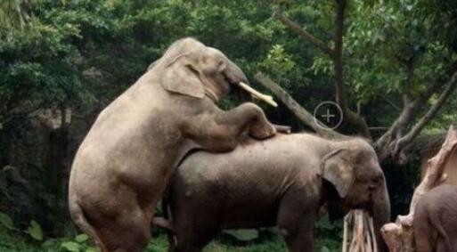 你知道吗?大象交配过程一次射精超1升!