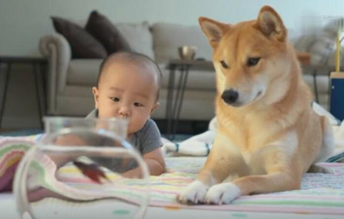 小主人想要鱼缸里的鱼,于是狗狗自告奋勇