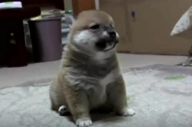狗狗的萌萌哒气质是真的太可爱了!