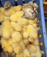 没想到变成了鸡妈妈,是不是超幸福啊