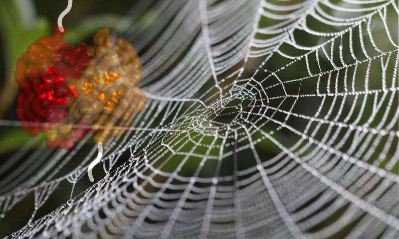 让蜘蛛丝强韧无比的物质原来是它!