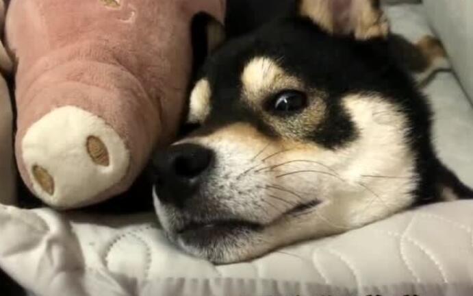 吃醋的狗狗就像是男朋友一样!