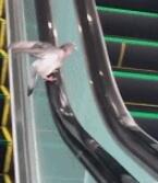 一只童心未泯的鸽子