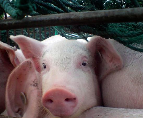 猪肉.png