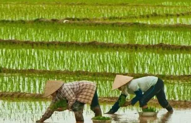 水稻种植.png