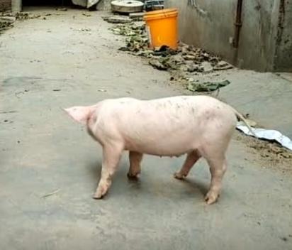 知道为什么说睡得比猪还死了吧?