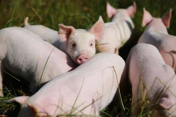 猪肉.jpg