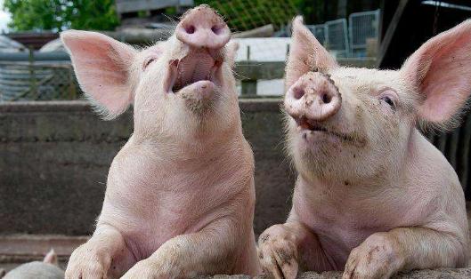 养猪贷款需要什么条件.png