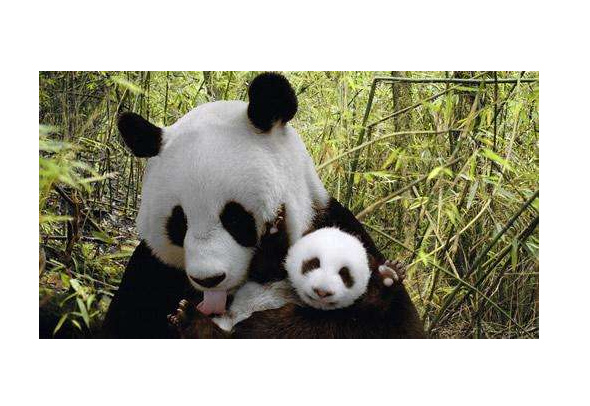 旅美大熊猫美香产下幼崽