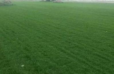 内蒙古培养耐踩草坪标语欢迎踩踏,为什么国内的草坪不能踩,快乐小草却可以?