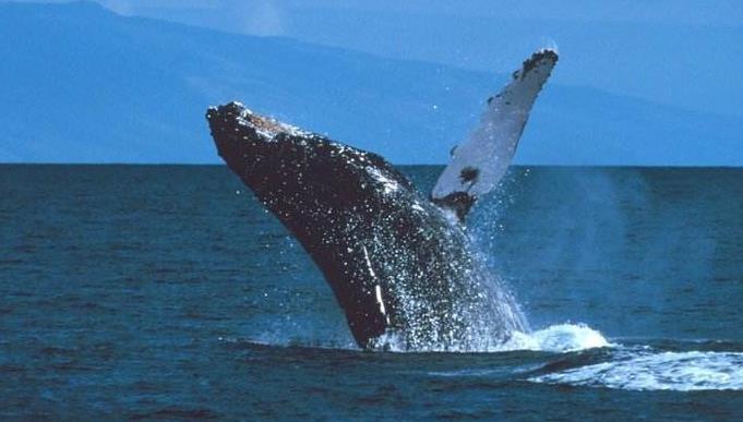 澳大利亚海滩数百头鲸鱼搁浅具体怎么回事,为什么鲸鱼会集体搁浅?
