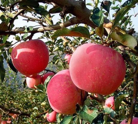 苹果报价苹果价格会上涨吗?