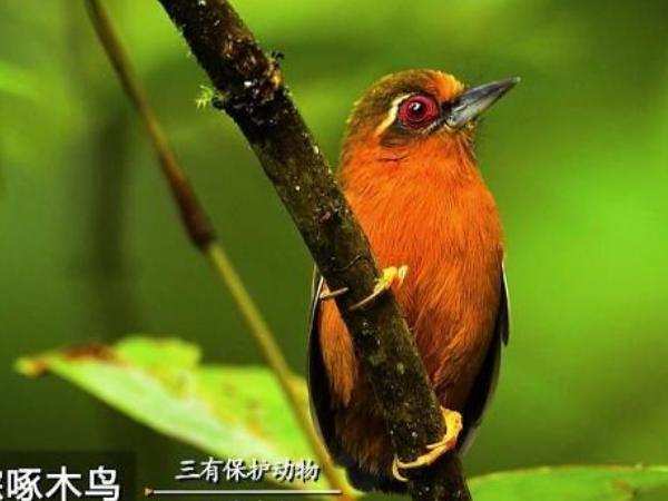 白眉棕啄木鸟.png