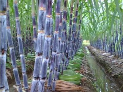 甘蔗种植园.png