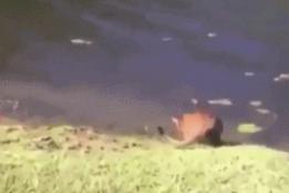 猫咪会游泳吗?