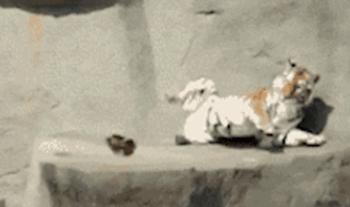 原来老虎也有吓一跳的时候