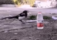 真实版乌鸦喝水