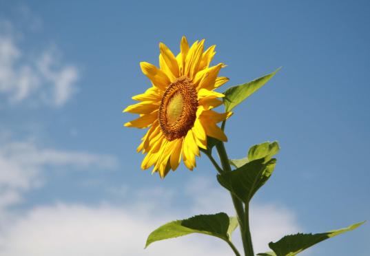 向日葵为什么向着太阳?原来真相是这个
