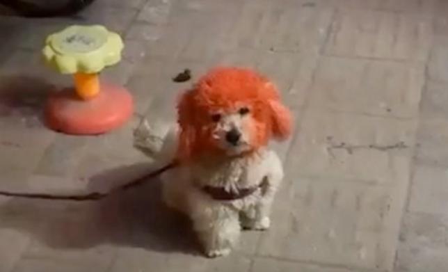 狗:谁染头失败了能开心?丑得我都没朋友了