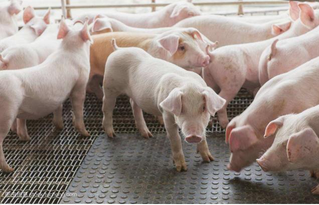 申请农用猪需要什么文件?农业养猪的程序如何操作?