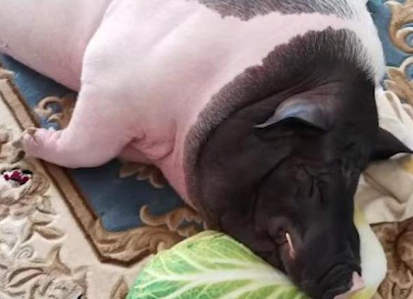 迷你宠物猪4年长成350斤大肥猪,宠物猪一般长多大,为什么宠物猪能长那么大