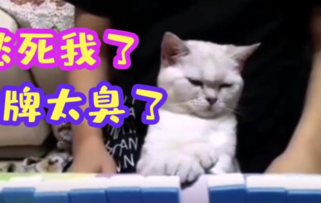 猫:这牌都没脸看了 这下猫粮都得输了