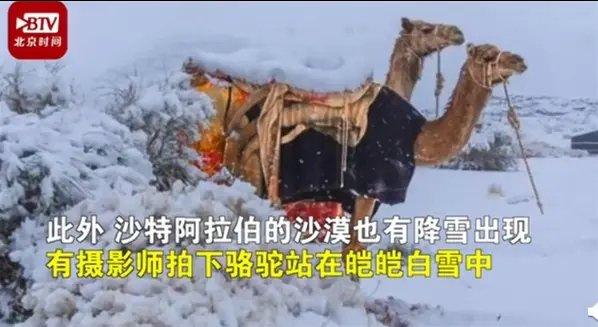 骆驼在撒哈拉沙漠雪中漫步,太神奇了