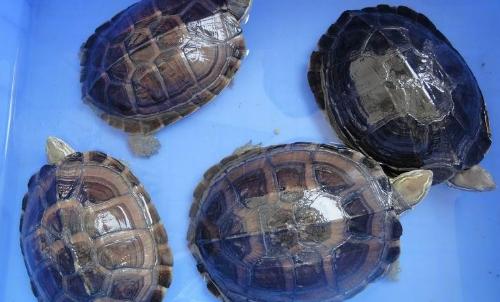 安南龟科普,安南龟与南石龟有什么不同